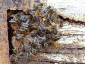 frelon devant une ruche naturelle près du château